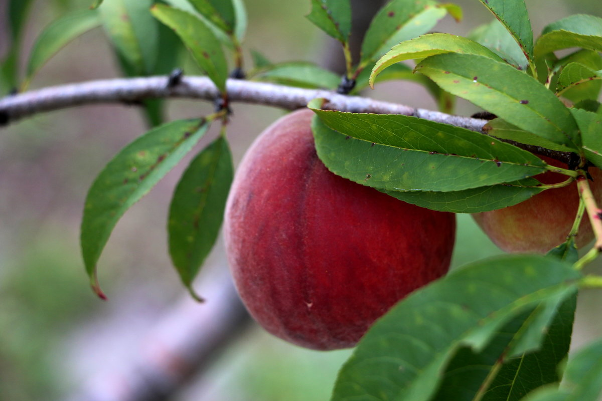 Peach-IMG_5241_copy.jpg