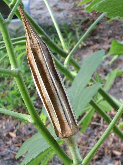 Saving Okra Seeds The Southern Agrarian