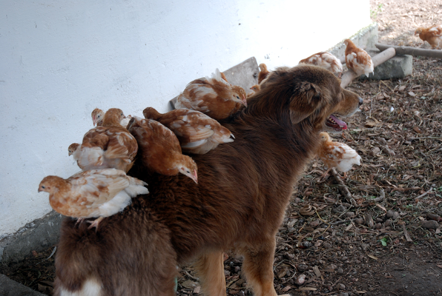 visiting 4ever Mercy-and-chicks