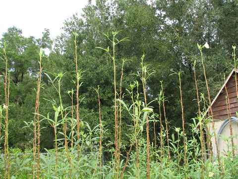 Never Prune Okra The Southern Agrarian