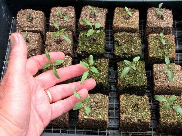 VPC seed starting mixture formed into soil blocks.