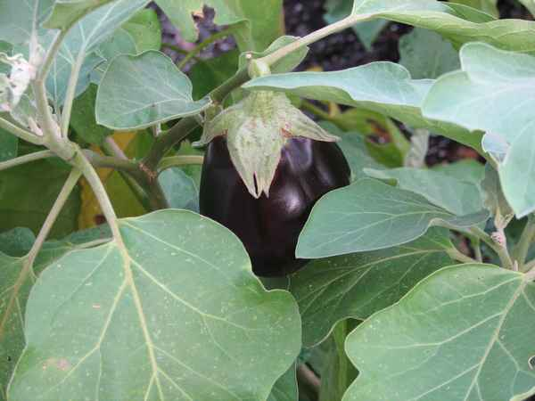 This Black Beauty eggplant is a reliable producer here in The South.