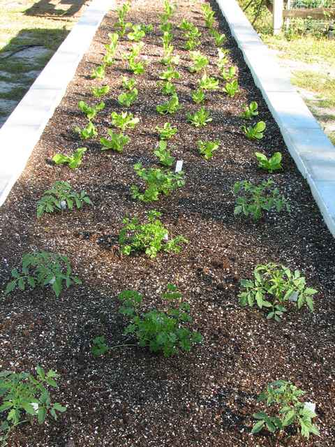 East section - Tomatoes, Parsley,Cilantro, Lettuce