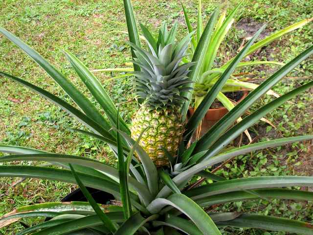 Pineapple almost ready to pick - December 15