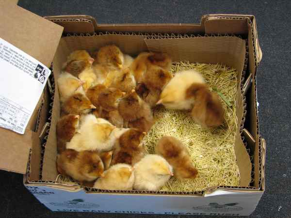 A 7:30 a.m. phone call let me know to come to the post office to pick up my box of chicks.