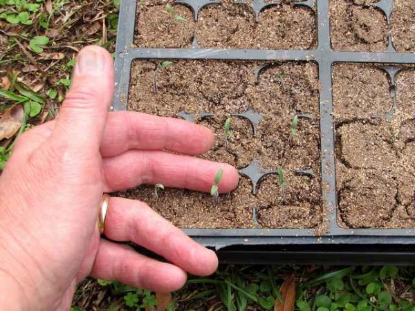Commercial seed starting trays and commercial seed starting mixture.
