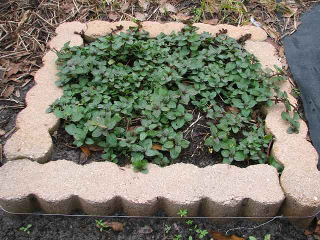 Chocolate Mint mini-garden. The concrete edging pieces are held in position by a strand of stainless steel wire tightly wrapped around the square.