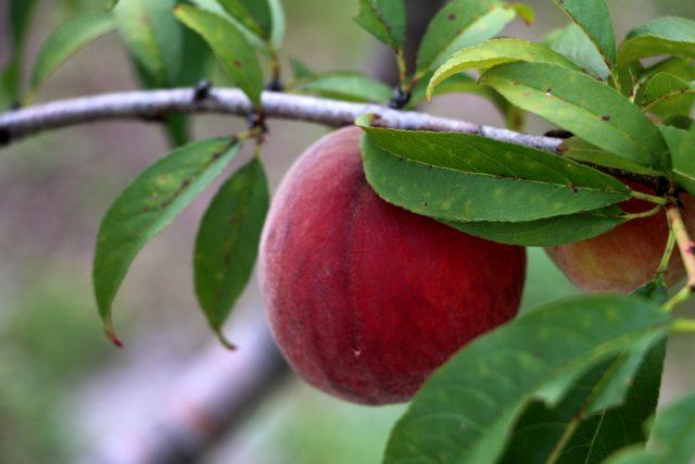 Peach-IMG_5241_1200x800